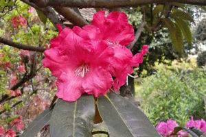 Rododendron Andantino
