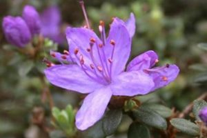 Rododendron blue silver