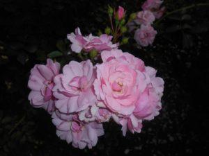 róża bonica