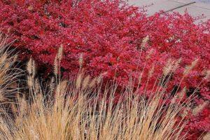 Berberys Thunberga Red Carpet
