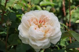 Róża graham thomas