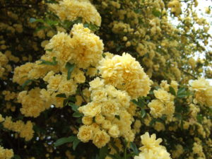 Róża ingrid bergman