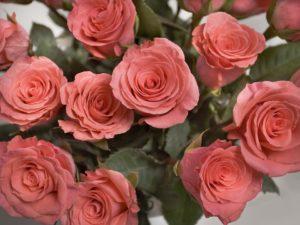 Róża louise odier