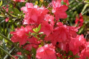 Rododendron Anna Rose Whitney