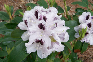 Rododendron Calsap