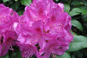 Rododendron Kruschke