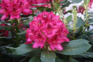 Rododendron baden- baden